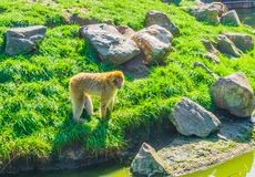 Brown orange monkey standing on a hill with rocks looking at the water. A brown orange monkey standing on a hill with rocks looking at the water stock image