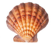Brown and Orange Seashell Stock Images