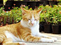 Brown orange tabby cat lying on the floor. In the garden Royalty Free Stock Photo