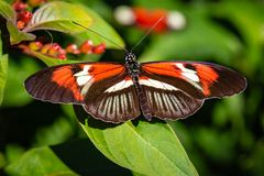 Brown, orange and white colored longwing butterfly. Brown, white and orange longwing butterfly resting on green leaves photographed at the Butterfly World royalty free stock photography