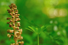 Brown orchid on green background. Brown orchid on green and yellow blurred forrest background Royalty Free Stock Photo