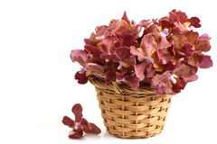 Brown orchid Stock Photos