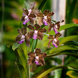 Brown orchidei kwiaty Obrazy Royalty Free