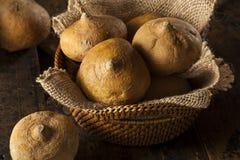 Brown orgánico crudo Jicama Fotos de archivo libres de regalías