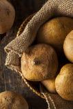 Brown orgánico crudo Jicama Fotografía de archivo libre de regalías