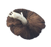 Brown Organic Field Mushroom Stock Image