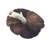 Brown Organic Field Mushroom Stock Image