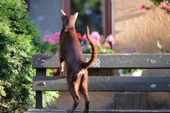A brown oriental cat climbed onto a bench Stock Photos