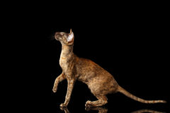 Brown Oriental Cat crouched and Looking up, Black Isolated Background Stock Images