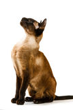 Brown Oriental cat sitting and looking up. On a white background Royalty Free Stock Photo