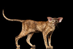 Brown Oriental Cat Standing and Looking in Camera Black Isolated Royalty Free Stock Images