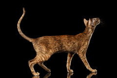 Brown Oriental Cat Standing and Looking up Black Isolated Background Stock Images