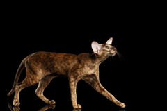 Brown Oriental Cat Walking and Looking up Black Isolated Background Royalty Free Stock Photos