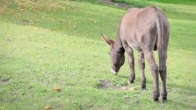 Brown osła odprowadzenie zdala od kamery i łasowanie trawy zdjęcie wideo