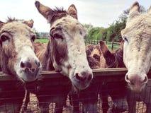 Brown osły z dużymi ucho i smutnymi oczami zdjęcie royalty free