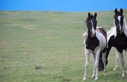 Brown oscuro y caballos blancos de la pintura foto de archivo libre de regalías