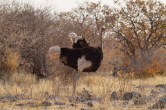 Brown Ostrich walking Royalty Free Stock Image