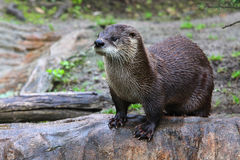 Brown otter looking away from the camera Stock Images