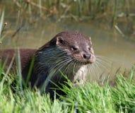 Brown Otter Near Green Grass Stock Photo
