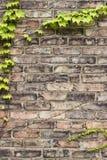 Brown ou tijolo resistido matizado ouro quadro pela hera e pelas videiras com folhas verdes fotografia de stock royalty free