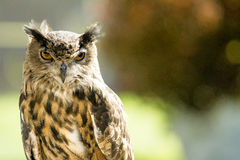 Brown Owl Royalty Free Stock Photos