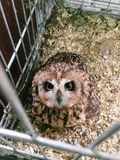 Brown owl sitting in a cage royalty free stock photography