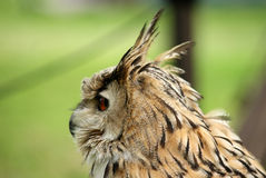 Brown owl close up in nature Royalty Free Stock Image