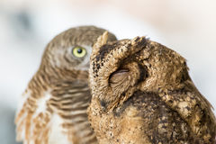 Brown owl Stock Photo
