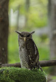 Brown owl on the fake green grass Royalty Free Stock Image