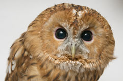Brown Owl head closeup. Brown Owl (Strix aluco) head closeup against white background stock photos
