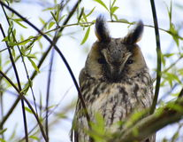 Brown owl Royalty Free Stock Photo