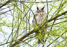 Brown owl Royalty Free Stock Image