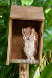 Brown owl perching and sleeping in box Royalty Free Stock Image