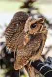 Brown owl perching Stock Image