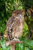Brown owl perching Royalty Free Stock Photography