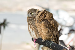 Brown owl perching on wood Stock Images