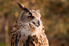Brown owl portrait Royalty Free Stock Image