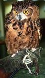 Eurasian Eagle Owl(Bubo bubo) Stock Photos