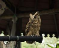 Brown owl Stock Image