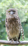 Brown owl sitting on a stick Stock Images