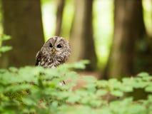 Brown owl sitting on the tree - Strix aluco. Strix aluco - Tawny owl on the tree in forest stock images