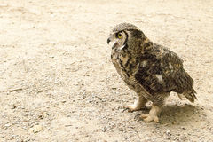 Brown Owl Standing Stock Photo