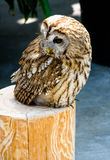 Brown Owl Royalty Free Stock Images