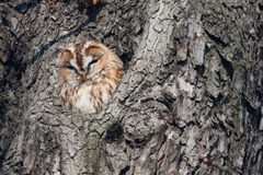 Brown owl Stock Photography