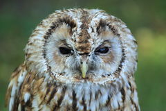 Brown owl Royalty Free Stock Photography