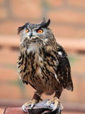 Brown owl with vivid eyes Royalty Free Stock Photo