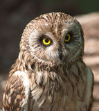 Cute brown owl Royalty Free Stock Photos