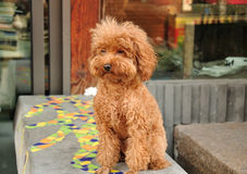 Brown Owłosiony pies Zdjęcie Royalty Free