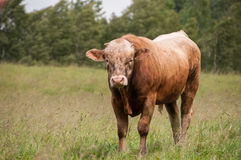 Brown ox. In the field Stock Photos