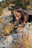 Brown północnoamerykański Niedźwiedź (Grizzly Niedźwiedź) Fotografia Royalty Free